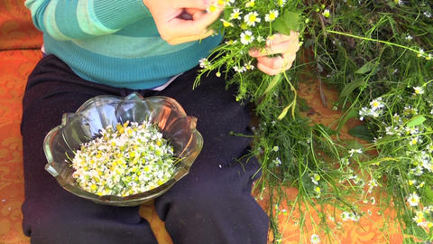 young girl hands pick camomile flower blooms in glass dish Live Action