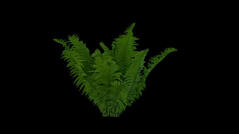 Real Fern Isolated 2 stock footage