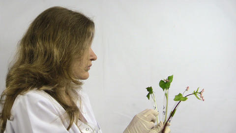 woman watch buckwheat sprout in chemistry test tube flask Footage