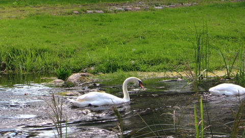 graceful white swan swim fast ripply stream on sunny summer day Footage