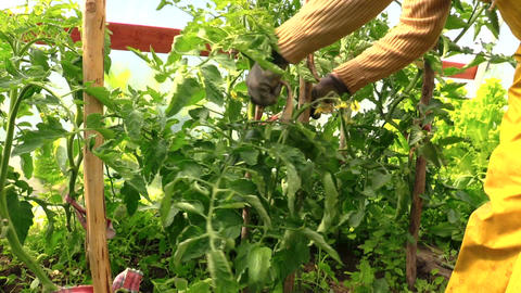 countrywoman hand bind large tomato bush to stick Live Action