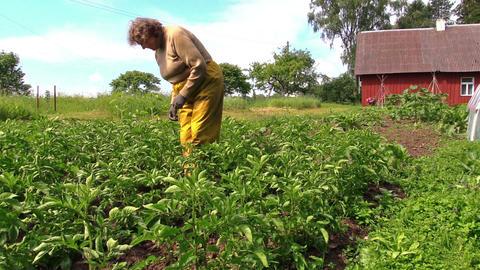 Senior gardener woman in pants care potato plants in rural field Footage