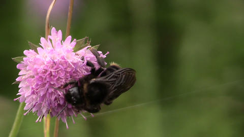 bee select nectar, crawling on purple wild flower in summer Footage