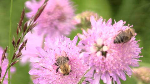Bumblebee (bombus) and bee collect pollen from pink flower Footage