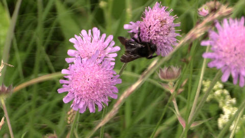 Bumblebee fly between flower blooms and collect pollen nectar Footage