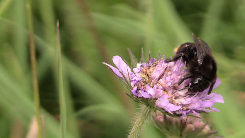 Bumblebee (Bombus) collect nectar from pink flower bloom Footage