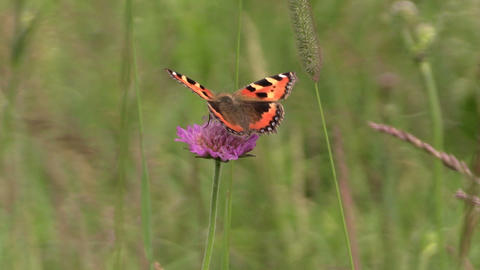 Small Tortoiseshell butterfly on bloom of pink flower in meadow Footage