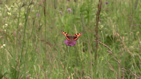 Small Tortoiseshell butterfly sit on pink flower in meadow Footage