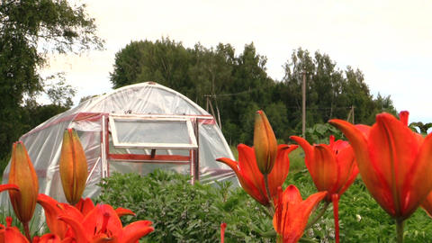 Dark orange lily flowers and greenhouse in country yard garden Footage