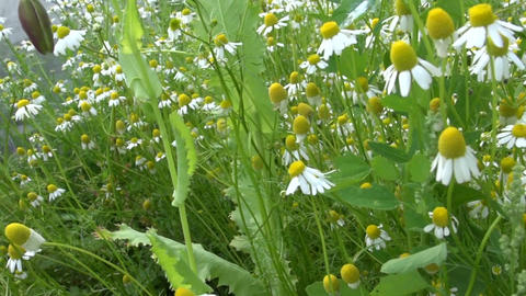 Walk between chamomile flowers plants move in wind Footage