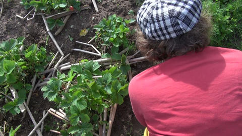 woman with glove and hoe weed strawberry in garden. Handiwork Footage