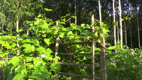 Grape creeper plant grow on wooden fence in garden Footage