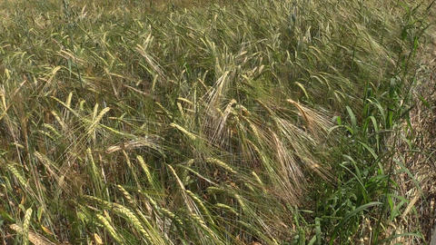 Ripe barley barleycorn plant crop ears move in wind Footage