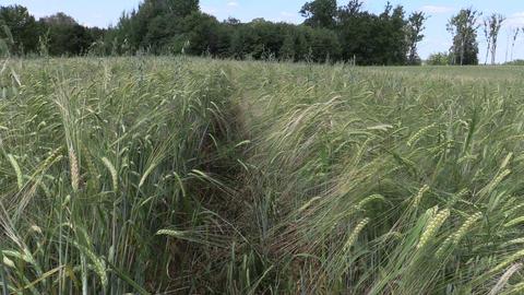 Ripe barleycorn plant crop ears move in wind Footage