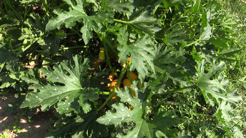 Mature yellow courgette (zucchini) vegetables ready for harvest Footage