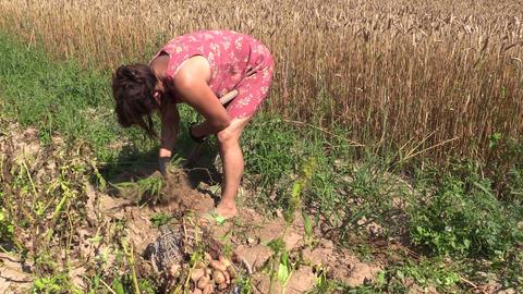 Gardener woman harvest dig natural potatoes. Left side sliding Footage