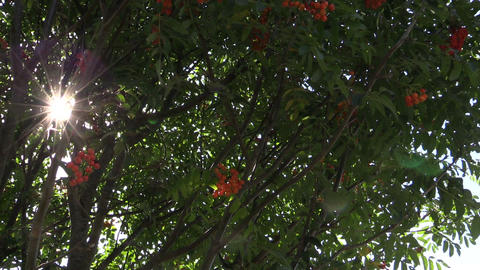 Rowan tree with ripe orange berries and sunlight penetrate Footage
