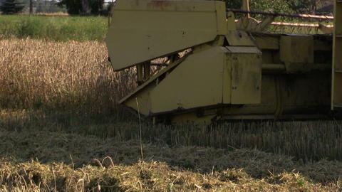 Farm combine cut ripe wheat grain in summer Footage