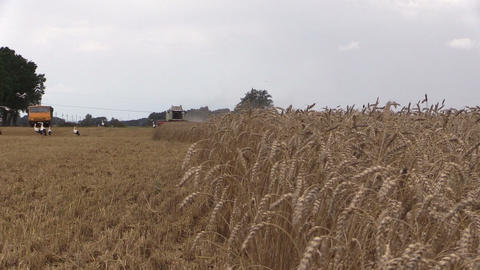 Combine thresher harvest and stork birds fly. Focus change Footage