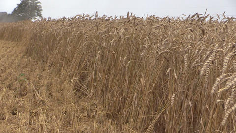 grain and farm combine thresh grain in background crowd stork Footage