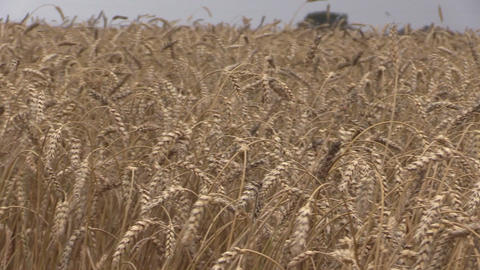 Ripe wheats and combine harvest. Stork birds fly. Panorama Footage