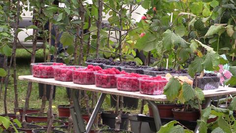 Black blackberries, red raspberries and plants sold in market Footage