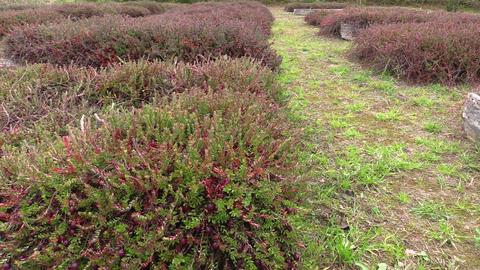 organic ripe cranberry plantation Footage