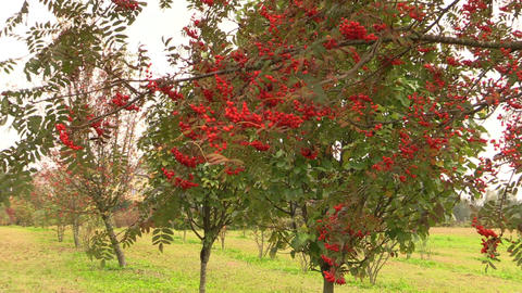 Rowan sorb berries tree branches move in wind Footage