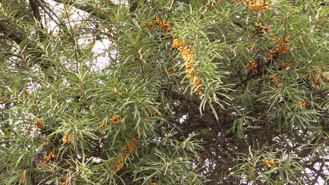 branch with buckthorn berries sways in wind Footage