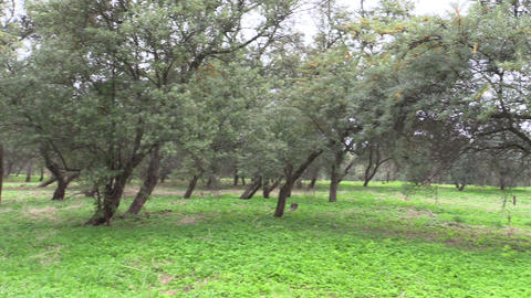 Buckthorn Tree Plantation Grow In Farm stock footage