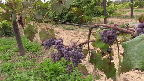 Grape (Vitaceae) Plant Branch With Fruit Grow In Farm Plantation stock footage