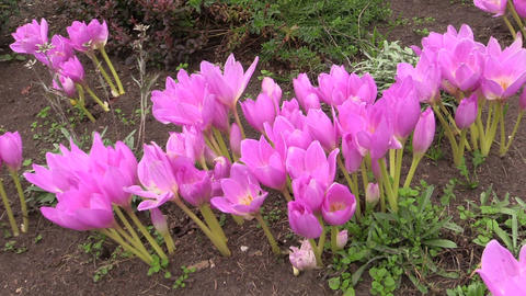Pink crocus saffron flowers grow in botanical garden in autumn Footage