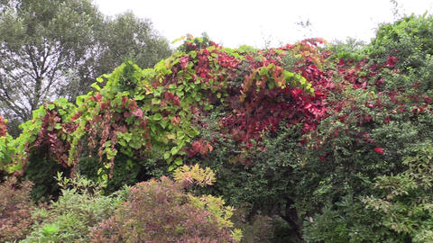 Colorful creeper climber plant leaves grow in botanical garden Live Action
