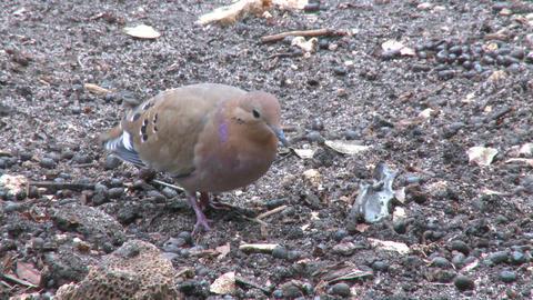 Turtle Dove On Ground stock footage