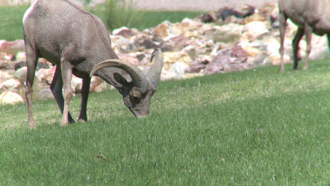 Big Horn Sheep Grazing (4 of 4) Live Action