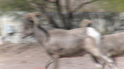 Big Horn Sheep wander near homes Live Action