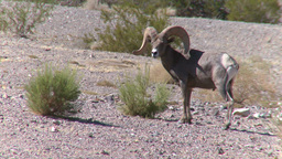 Big Horn Sheep Ram (3 of 7) Live Action