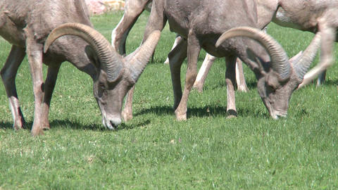 Big Horn Sheep Grazing (1 Of 4) stock footage