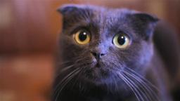 Cat Looking Surprised stock footage