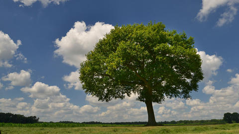 tree under puffy clouds panning time lapse 11661 Footage