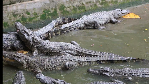 person feeds crocodile at mekong Live Action