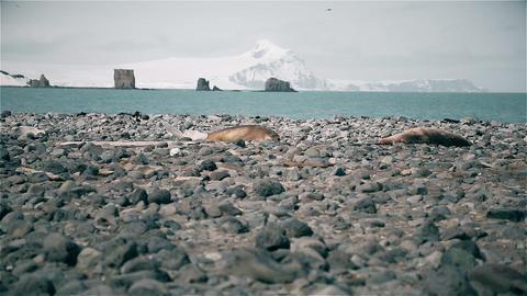 Seal Crawls Along The Rocky Beach stock footage
