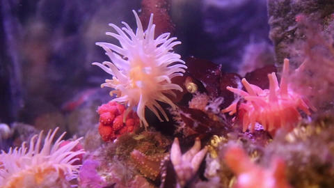 Pink anemone in deep sea waving tentacles Footage