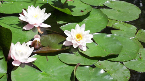 Three white blossoming water-lilies in the sunny summer day Footage