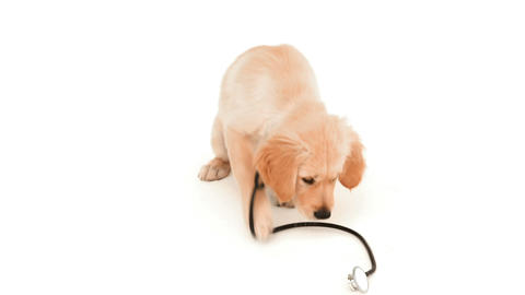 Cute puppy playing with stethoscope Footage