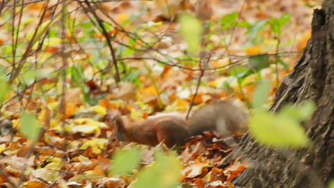 Food of the squirrel, sequence Stock Video Footage