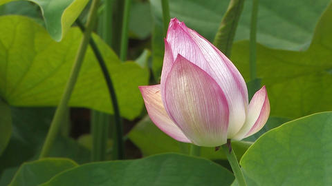 Flower of a Lotus in Showa Kinen Park,Tokyo,Japan Stock Video Footage