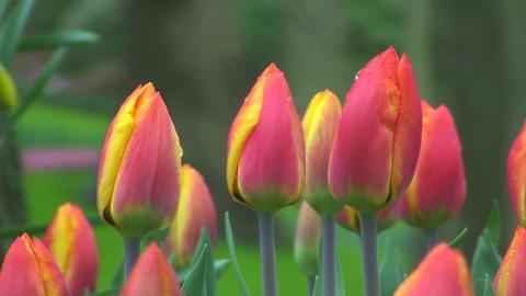 Tulipa flair Stock Video Footage