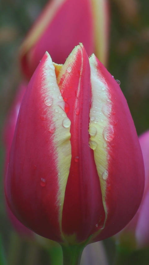Tulipa World\'s Favourite Stock Video Footage