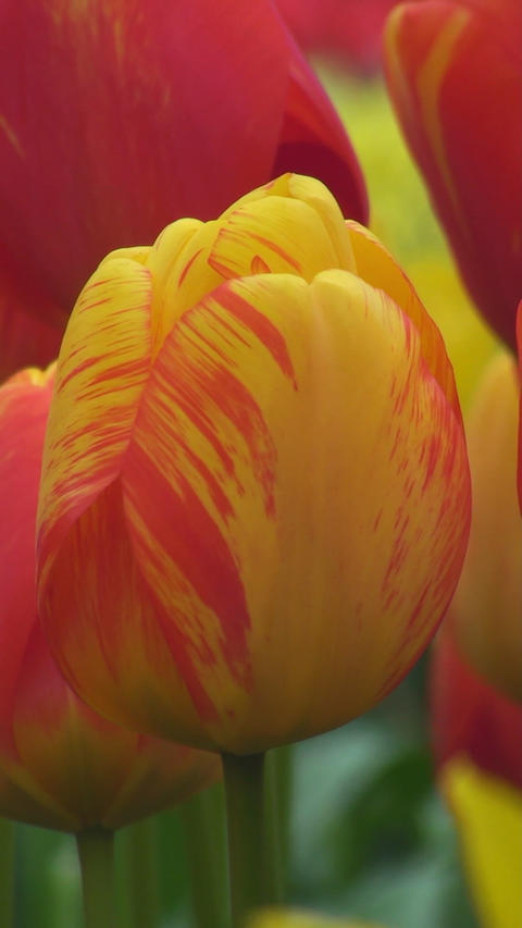 Red and yellow tulip Stock Video Footage
